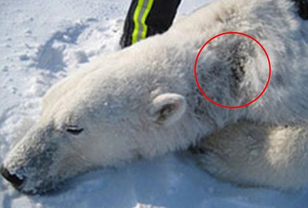 Polar bear without fur - photo#11